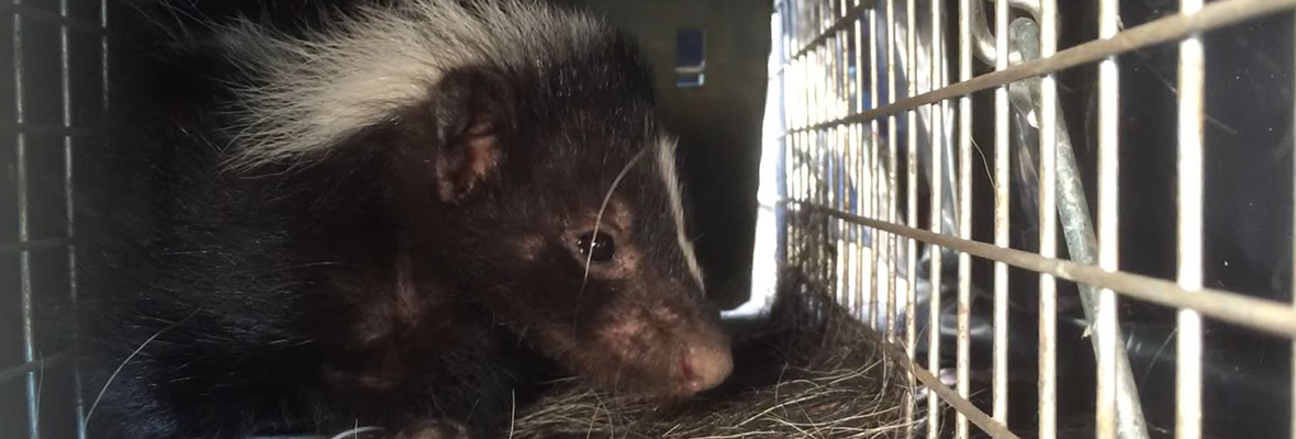 Cost of Albany Skunk Removal